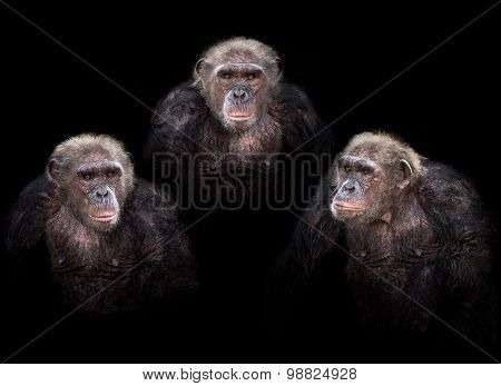 Old Chimpanzee Group