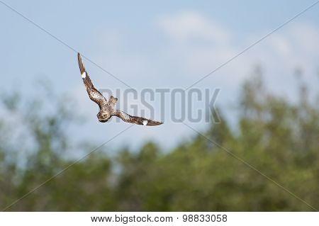 Swooping Nighthawk
