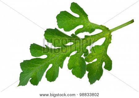Watermelon leaf