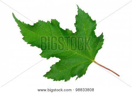 Maple green leaf