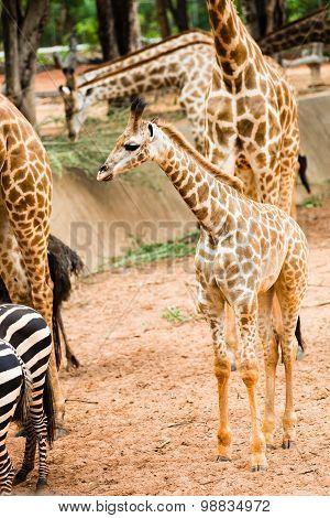 Baby Giraffe Is Walking To Find Food.