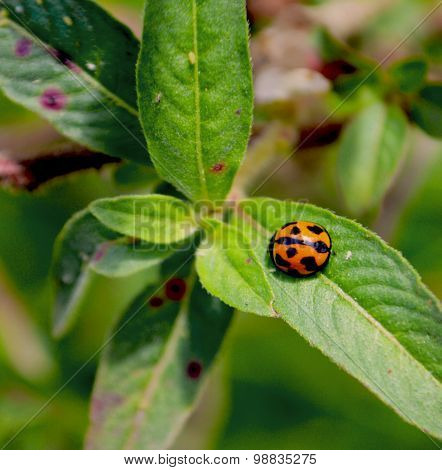 Lady Bug Delight