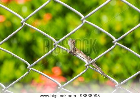 Chameleon On The Wire Fence