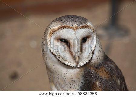 Barn owl (Tyto alba). Wild life animal.