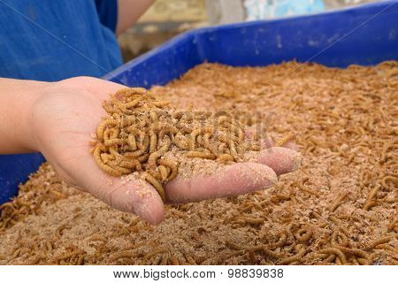 Mealworm In Hand