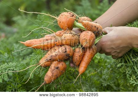 Freshly Picked Carrots.