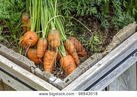 Fresh Carrots In The Garden.