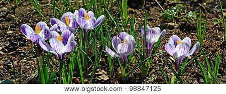 the first flowers are crocuses