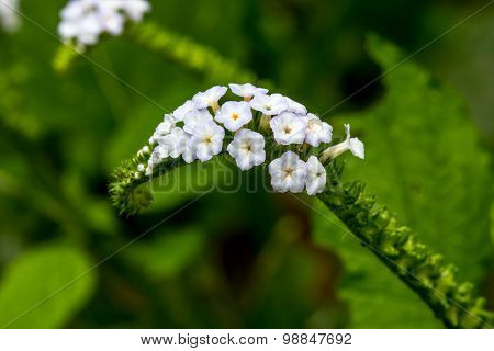 Blur Focus Closeup Flower Of Heliotropium Indicum Herb