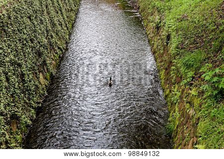 Single Mallard Duck Swimming In A Channel With River Banks