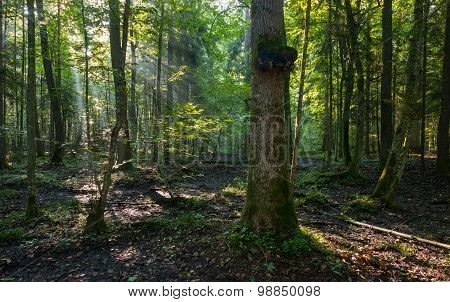 Natural Deciduous Stand Of Bialowieza Forest In Morning