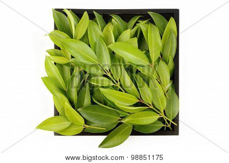 Chamuang Leaves (garcinia Cowa Roxb.) On Old Wooden Tray