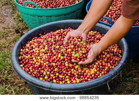 arabica coffee berries on agriculturist hands