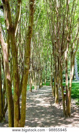 Path Through Crepe Myrtles