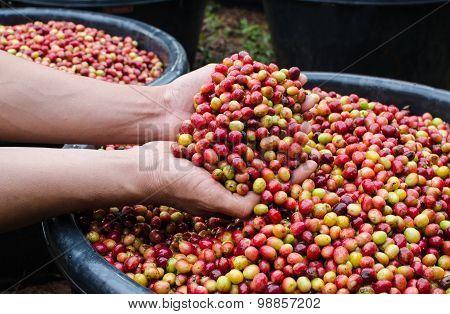 arabica coffee berries on hands