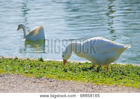 White Goose Eating Grass