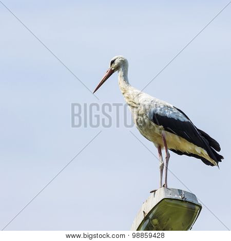 Stork Flying On Blue Sky Background. Beautiful Stork Bird Photographed In Poland