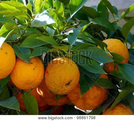 Oranges in an orange tree