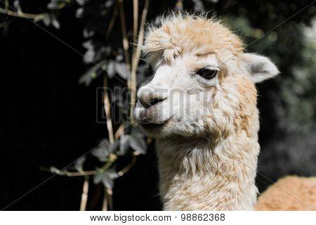 Portrait Of A Llama In La Paz Bolivia