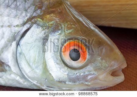 A Small River Fish Presents Closeup.
