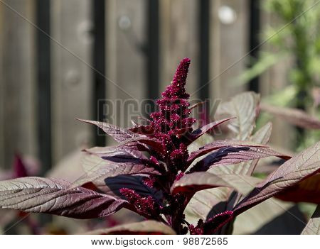 Red Hopi Dye Amaranth Flower