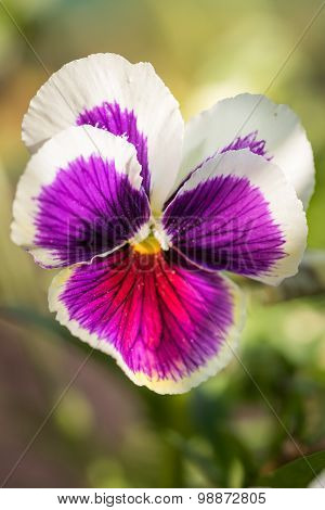 Purple Viola Tricolor Pansy Flowers With Natural Green Background