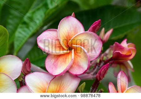 Droplets On Plumeria Flower