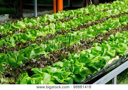 Organic Cultivation Different Kinds Of Lettuce
