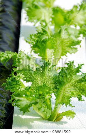 Lettuce On Organic Hydroponic Vegetable Garden