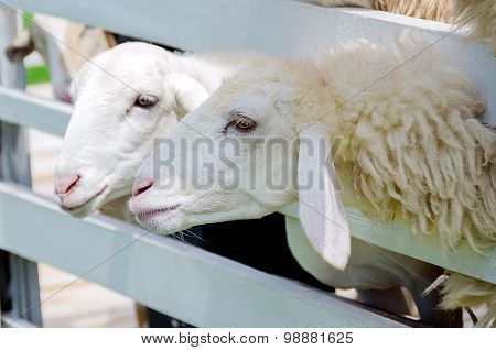 Two White Sheep In The Paddock