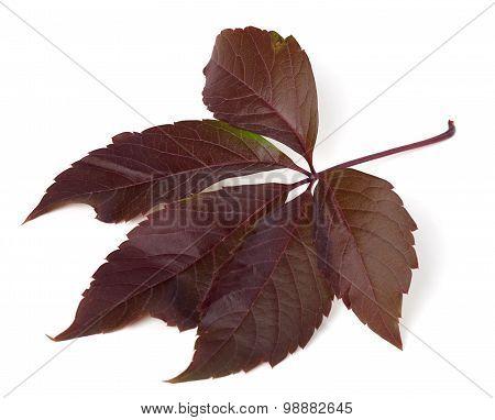 Autumn Virginia Creeper Leaf (parthenocissus Quinquefolia Foliage)