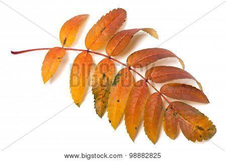 Autumnal Rowan Leaf