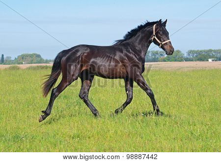 Bay young stallion trotting on a meadow