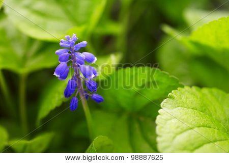 Blue Bluebell