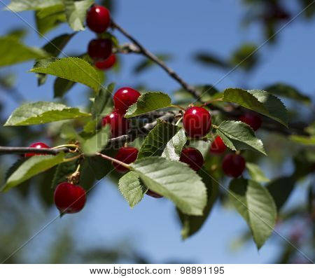 Branch Of Red Cherry Close Up