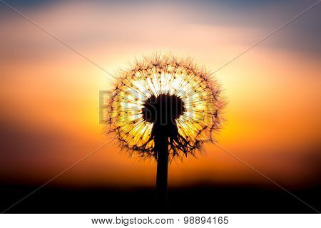 Dandelion Flower With Sunset