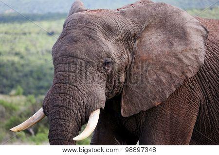 Wild African Bull Elephant Face