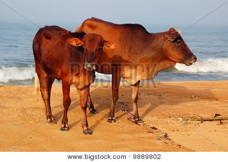 Sacred Cow And Calf