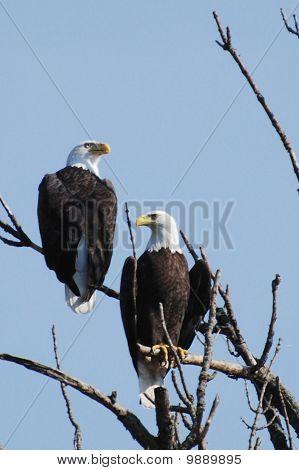 Eagle Pair Talking Politics
