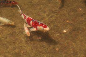 stock photo of koi fish  - Koi fish - JPG