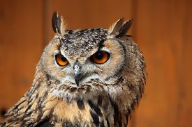 picture of owls  - Indian eagle - JPG