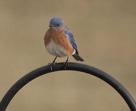 stock photo of bluebird  - A male Eastern Bluebird sitting on a shepherd - JPG