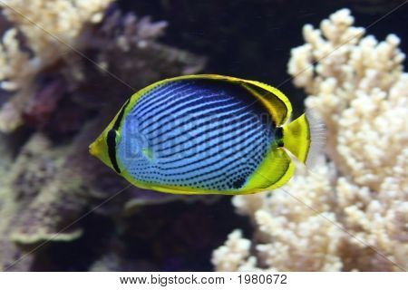 Black Backed Butterfly Fish