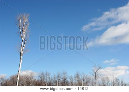 Trees And Sky In Winter