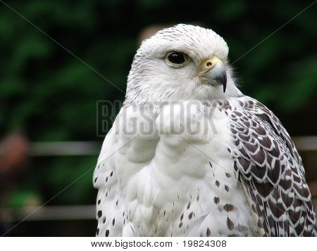 White and grey falcon bird