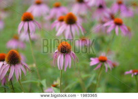 Garden Flowers