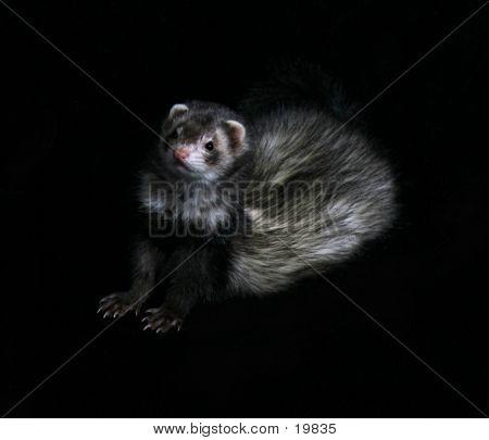 Female Ferret