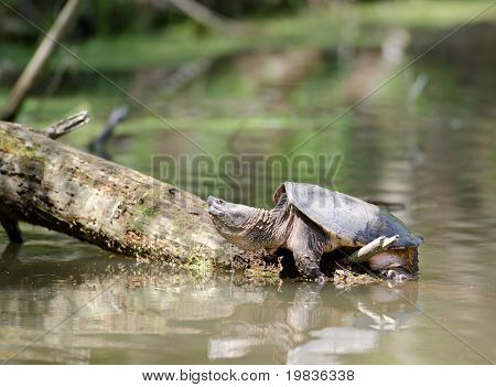 Snapping Turtle Basking In The Sun