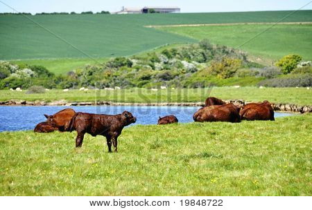 Cows in a field next to a river, England