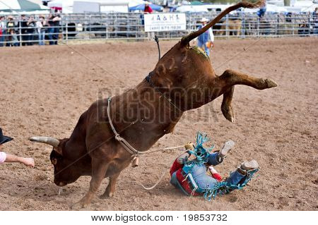 APACHE JUNCTION, AZ - FEBRUARY 27: A cowboy falls off a bucking bull in the bull riding competition at the Lost Dutchman Days Rodeo on February 27, 2010 in Apache Junction, Arizona.